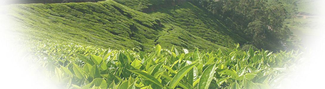 ۱۰۹۰-۳۰۰-Bg-Zargaran-Tea-چای-زرگران-اسلایدر